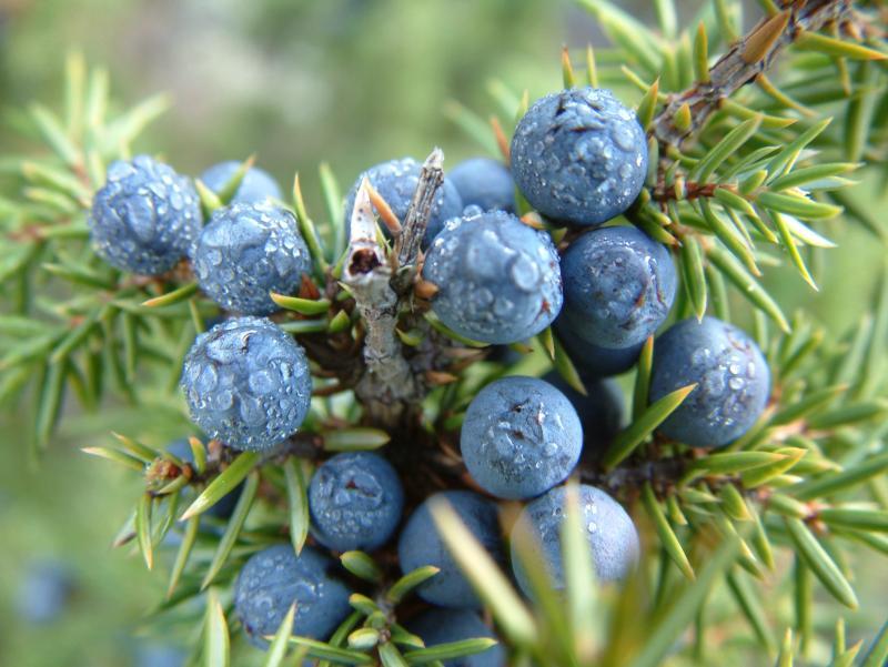 juniperberry1